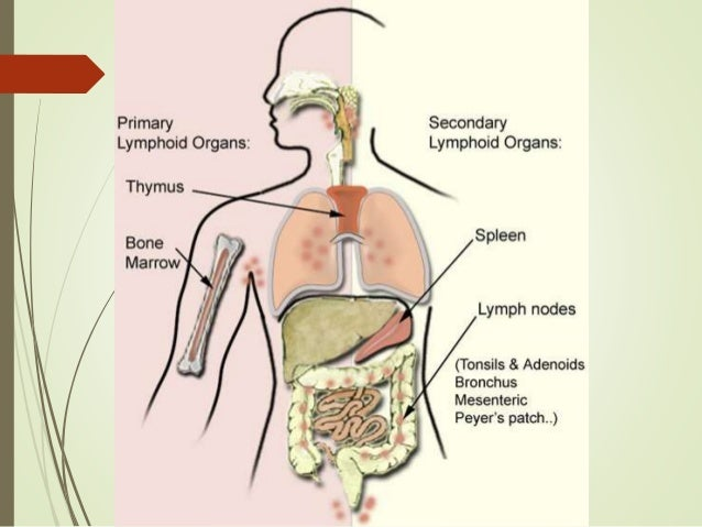 Lymphatic System Thymus And Malt