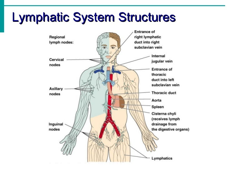 lymphatic system notes, Human Body