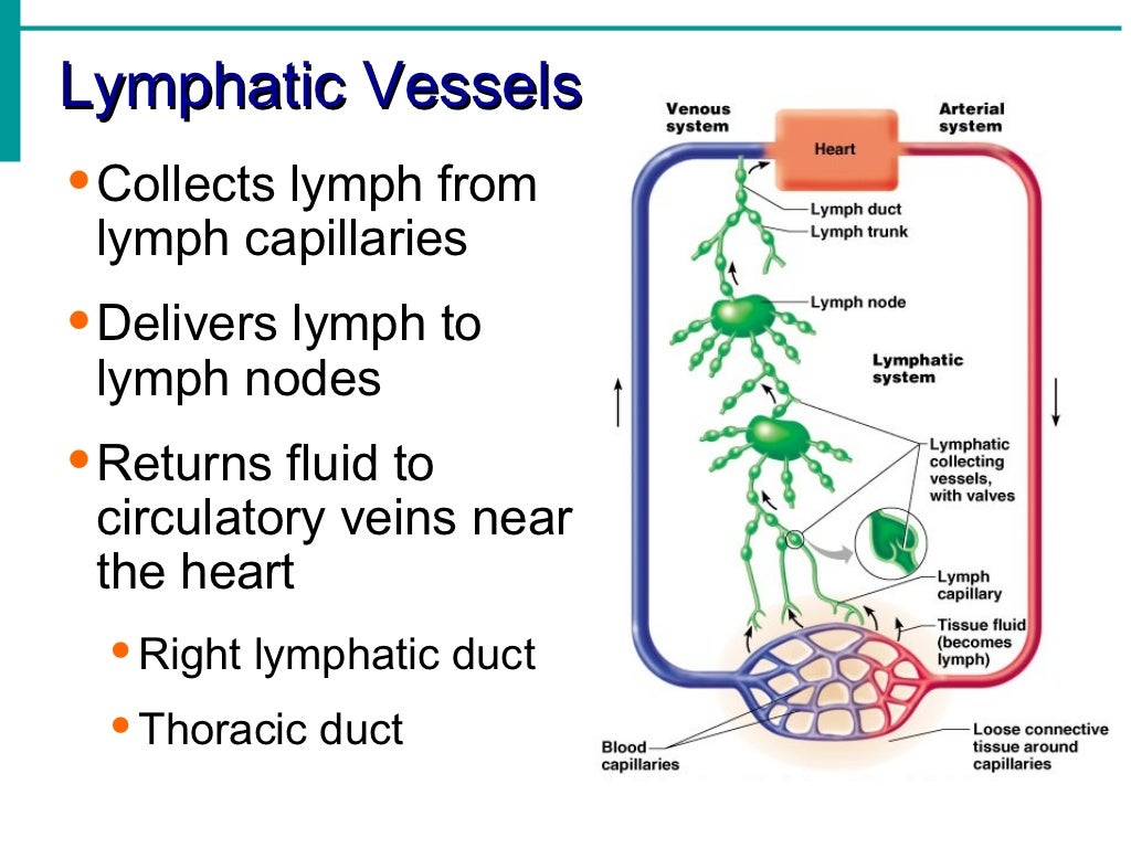 Lymphatic System Notes