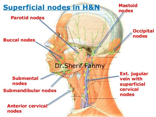 lymphatic drainage of head & neck (anatomy of the neck), Human Body