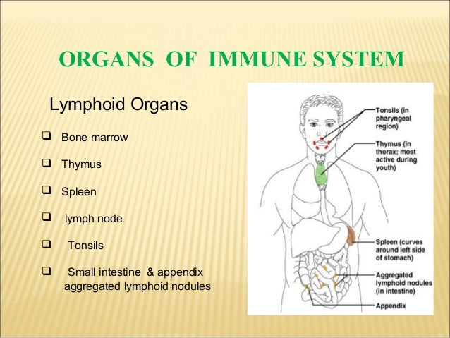 Lymphoid organs ppt