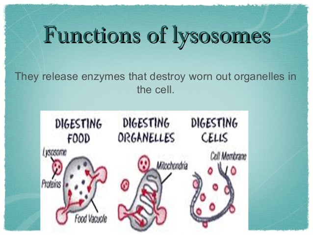 Lysosome (1)