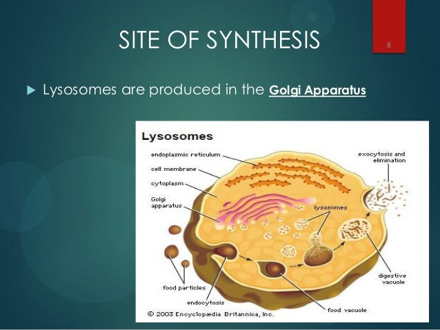Lysosomes 8 638gcb1428148409