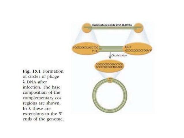 lambda phage life cycle pdf