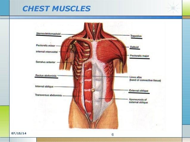 M. of chest, abd, back SEMESTER 2 kd 2 anatomy