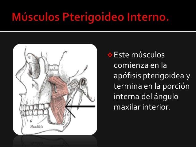 Musculos Pterigoideos Slide 3