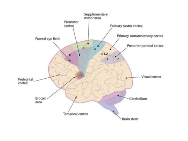 Motor Cortex Inputs Outputs And Functions In Brief