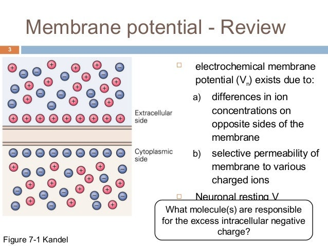 membrane potential Follow the direction in the lower right, black box for each of the resting  membrane potential (rmp) animations below how do ions affect membrane  potential.