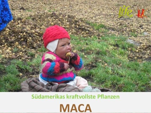 Südamerikas kraftvollste Pflanzen MACA