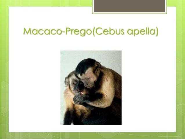 Macaco-Prego(Cebus apella)
