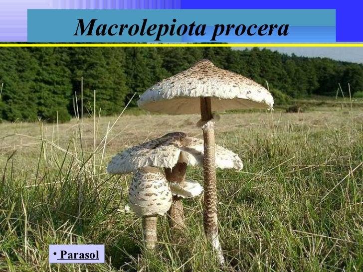 Macrolepiota procera <ul><li>Parasol </li></ul>