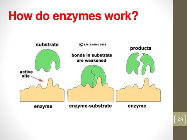 enzyme notes Enzyme notes study guide by quentarus includes 6 questions covering vocabulary, terms and more quizlet flashcards, activities and games help you improve your grades.