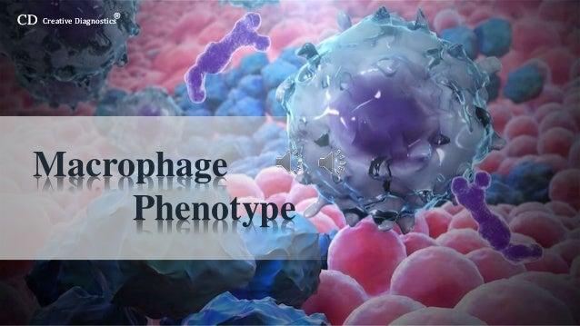 CD Creative Diagnostics ® CD Creative Diagnostics ® Macrophage Phenotype