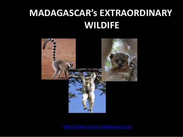 MADAGASCAR's EXTRAORDINARY         WILDIFE      http://www.cactus-madagascar.com/