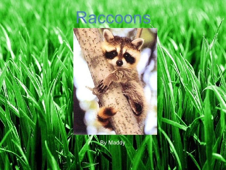 Raccoons Raccoons By Maddy