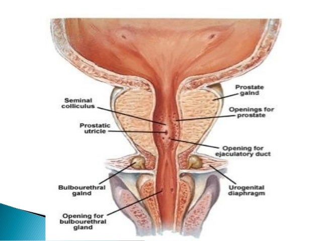 Anatomy Of Male Urethra