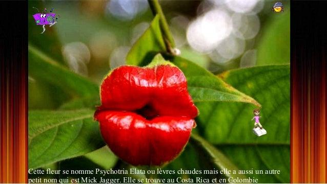 Cette fleur se nomme Psychotria Elata ou lèvres chaudes mais elle a aussi un autre petit nom qui est Mick Jagger. Elle se ...