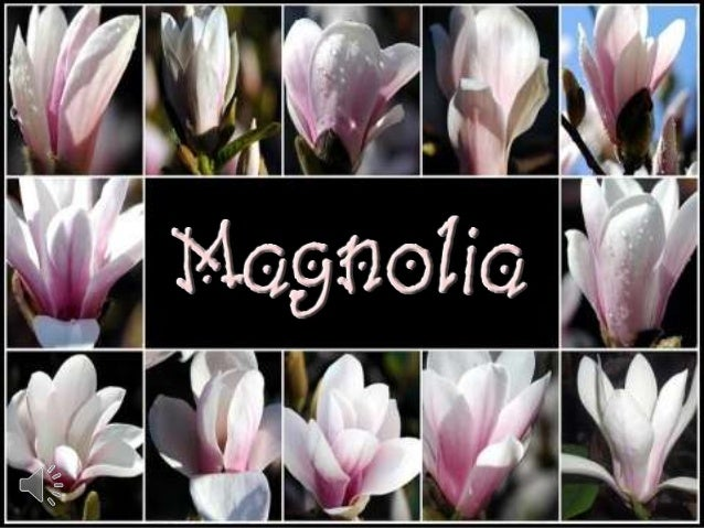 Magnolia (v.m.)