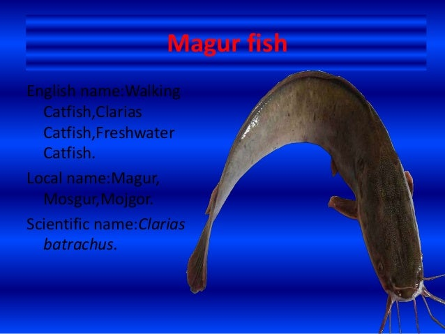Magur fish(Clarias batrachus) - photo#27