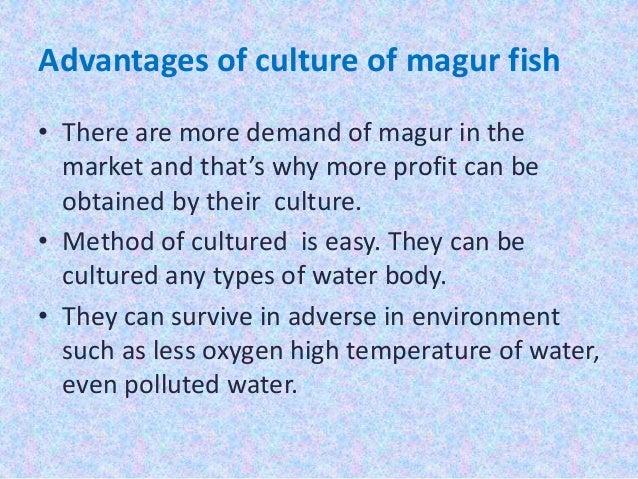 Magur fish(Clarias batrachus)