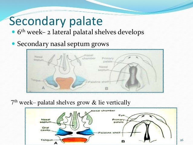 Pre Natal Postnatal Growth Of Maxilla Palate moreover Pre Natal Postnatal Growth Of Maxilla Palate besides Growth And Development Of Maxilla in addition Pre Natal And Postnatal Development Of Maxilla Part 2 as well Prenatal And Postnatal Growth Development Of Maxilla And Palate Presented By Himanshu Gorawat 69000058. on pre natal postnatal growth of maxilla palate