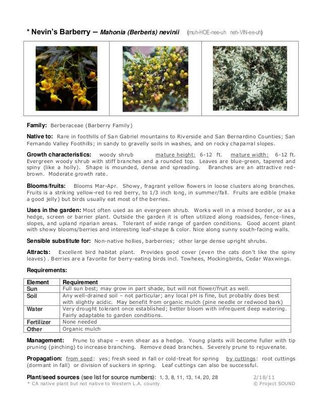 * Nevin's Barberry – Mahonia (Berberis) nevinii  (muh-HOE-nee-uh neh-VIN-ee-uh)  Family: Berberaceae (Barberry Family) Nat...