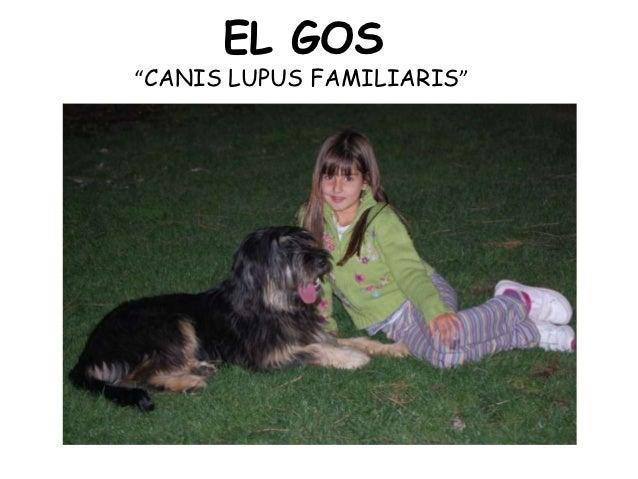 """EL GOS""""CANIS LUPUS FAMILIARIS"""""""