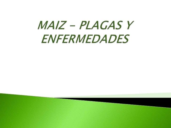 MAIZ - PLAGAS Y ENFERMEDADES<br />