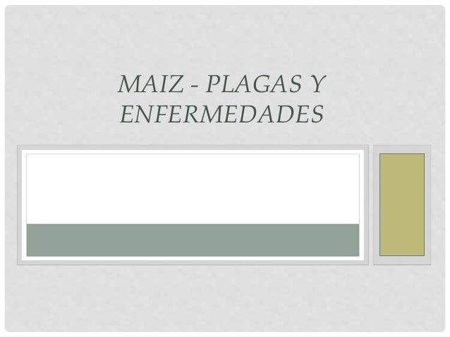 MAIZ - PLAGAS Y ENFERMEDADES