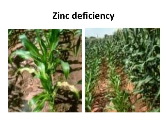Maize crop disorders a lecture by mr allah dad khan for Soil zinc deficiency