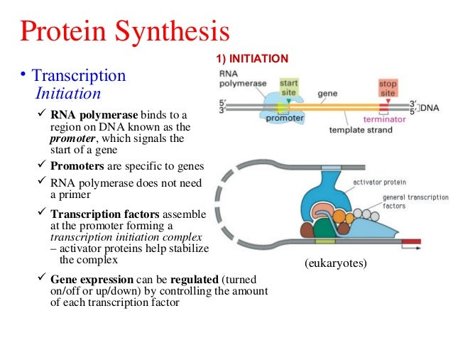 what does rna polymerase do in protein synthesis