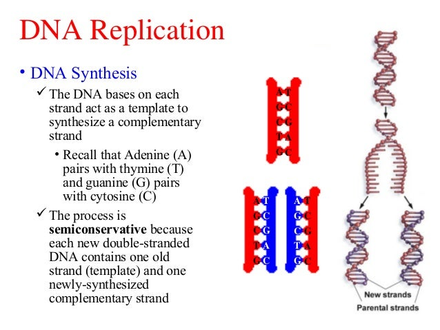dna sysnthesis Control of protein synthesis most of the time when a cell is not dividing, it is performing a series of activities under the control of the dna in its nucleus.