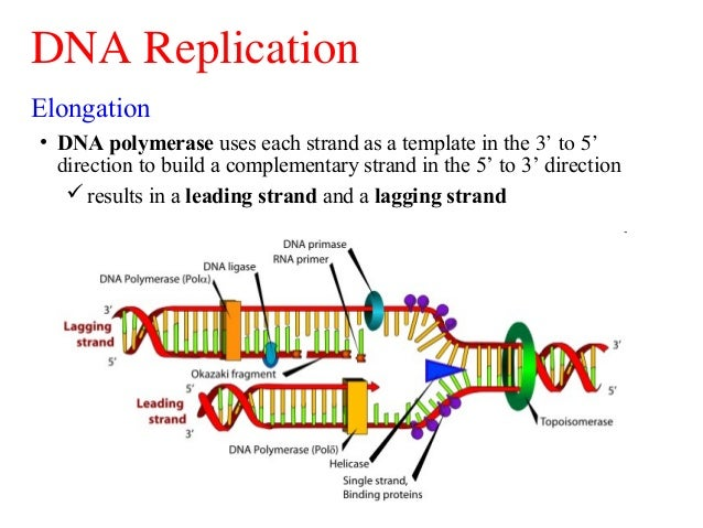 What Protein Builds The New Strand Of Dna