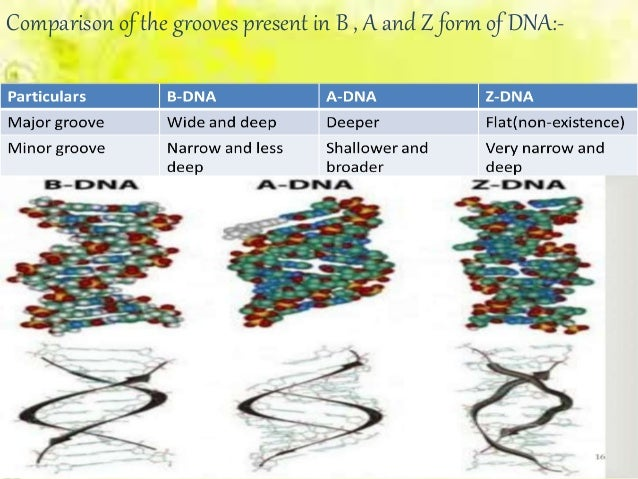 Major and minor grooves dna