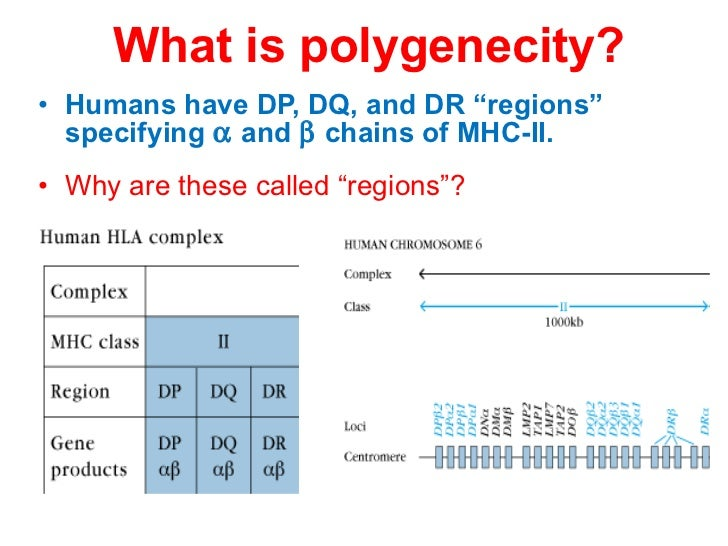 """What is polygenecity? <ul><li>Humans have DP, DQ, and DR """"regions"""" specifying    and    chains of MHC-II. </li></ul><ul>..."""