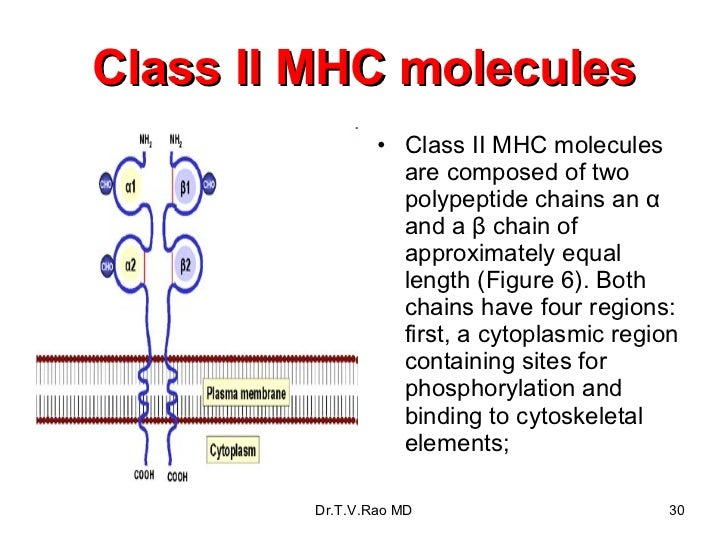 Class II MHC molecules <ul><li>Class II MHC molecules are composed of two polypeptide chains an α and a β chain of approxi...