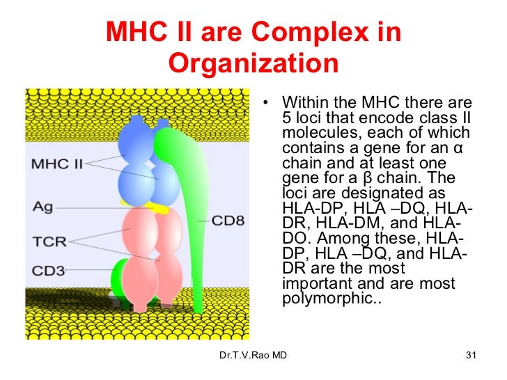 MHC II are Complex in Organization <ul><li>Within the MHC there are 5 loci that encode class II molecules, each of which c...