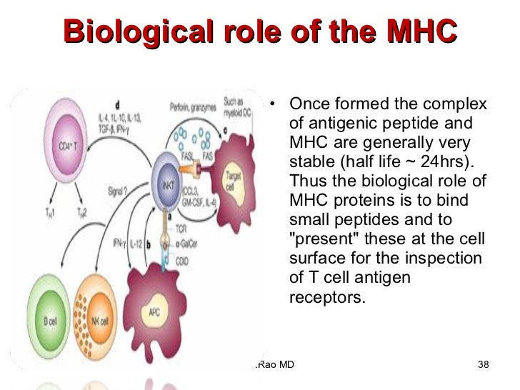 Biological role of the MHC <ul><li>Once formed the complex of antigenic peptide and MHC are generally very stable (half li...