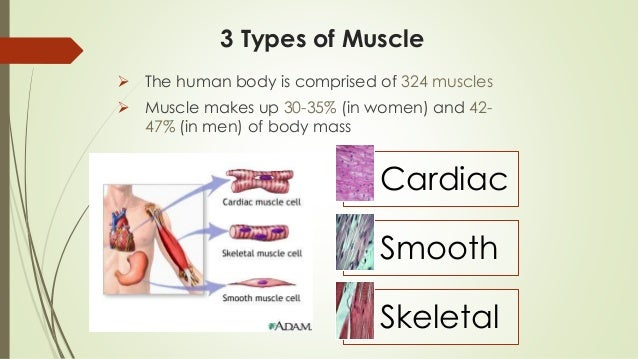 major muscles 1, Muscles