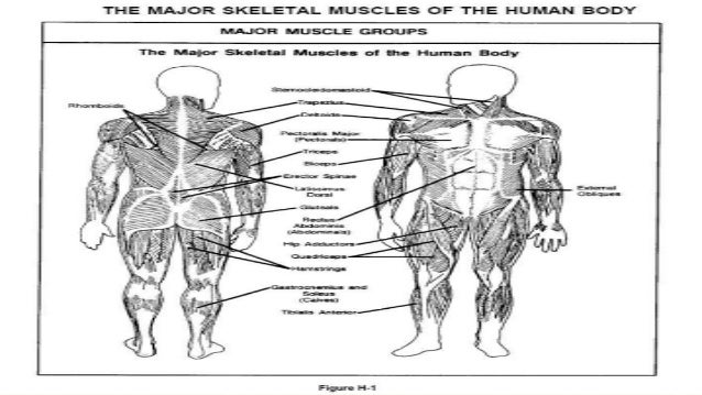 Major Skeletal Muscles In The Body