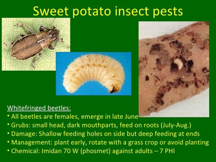 War against the potato beetle