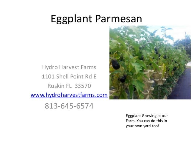 Eggplant Parmesan Hydro Harvest Farms 1101 Shell Point Rd E Ruskin FL 33570 www.hydroharvestfarms.com 813-645-6574 Eggplan...