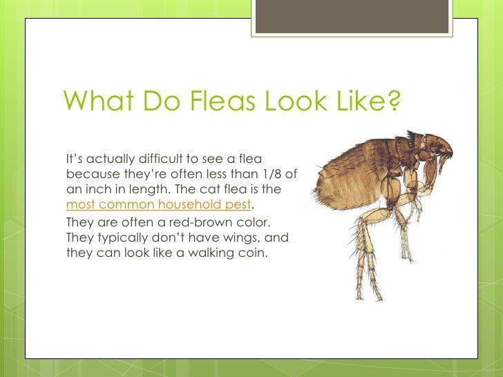 flea infestation yard. Flea Infestation Yard Download