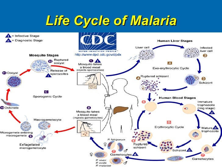 plasmodium the malaria parasite When the malaria-causing plasmodium parasite first slips into the human bloodstream, injected by the bite of an infected mosquito, it does not immediately target red blood cells.
