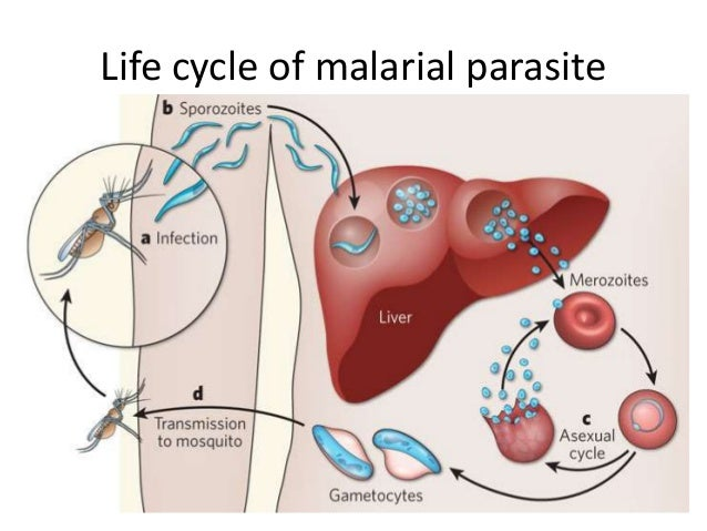 Sexual Cycle In Mosquito