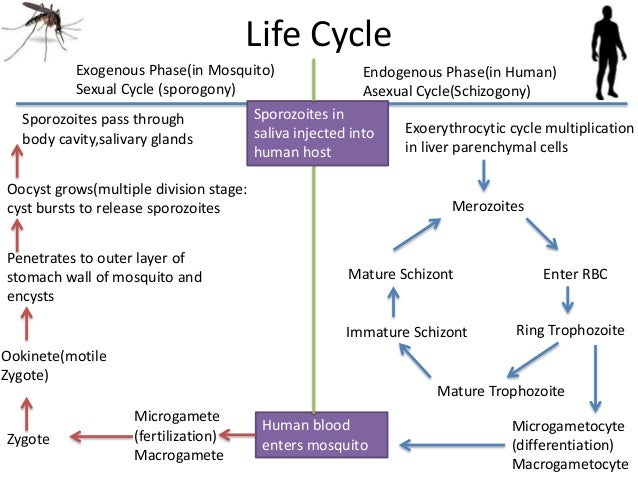 life cycle of the malaria parasite essay Plasmodium species (malaria) by anthony p cannella, lennox archibald  the typical periodicity of these paroxysms in the classic textbooks and papers is 48 hours for p falciparum, p vivax,  what is the life cycle of the parasite, and how does the life cycle explain infection in humans.