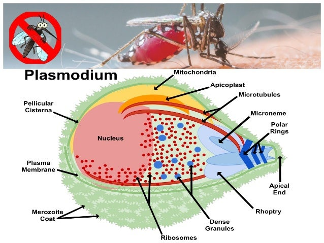 life cycle of plasmodium falciparum biology essay Malaria parasite plasmodium falciparum, which allowed us to accurately  the  life cycle of the protozoan malaria parasites encom-  table i summary of  mass spectrometry data of mature male and female gametocytes in p falciparum.