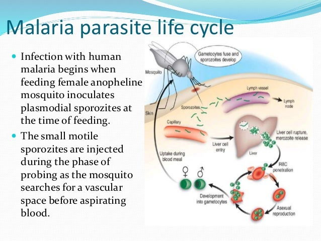 Asexual life cycle of plasmodium sp