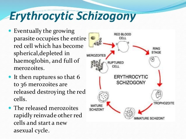 Why asexual life cycle of plasmodium is called schizogony