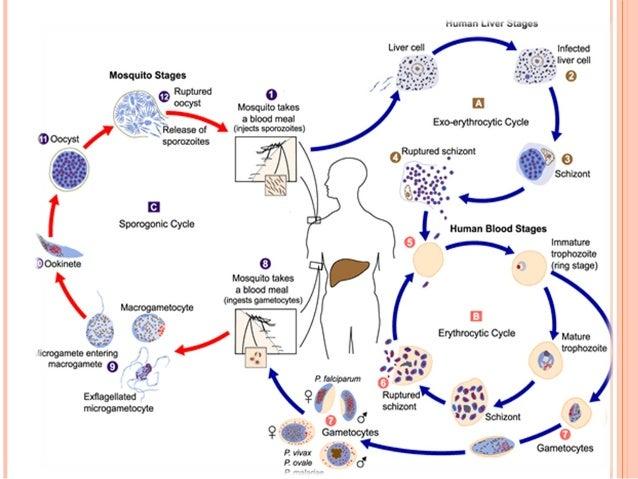 Los parásitos lechene por el ajenjo